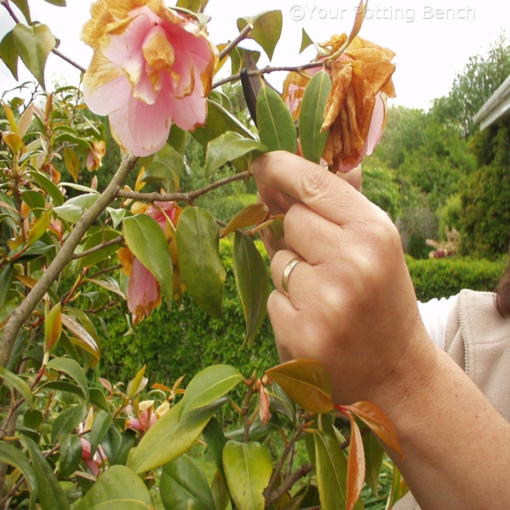 Learn about How to care for Camellias